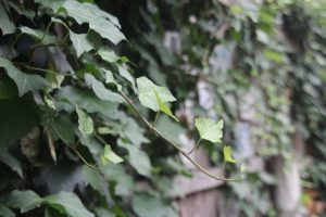ivy growing on wooden fence